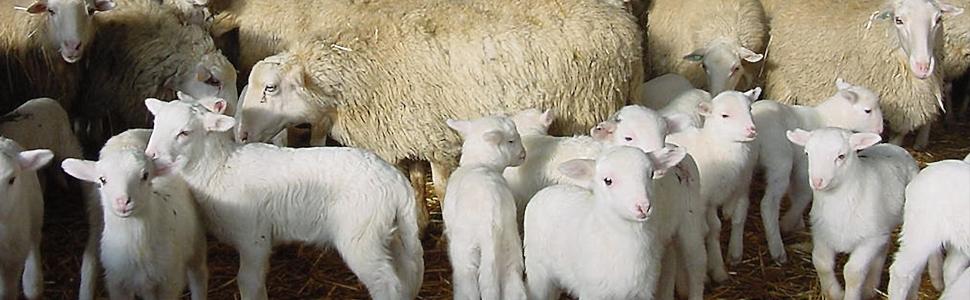 Abortos infecciosos en ganado ovino. Prevención y control