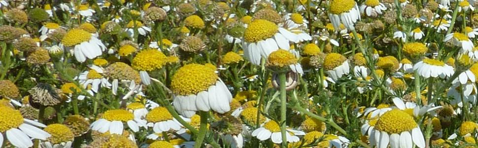 Malas hierbas: Margarita (Anacyclus clavatus) y otras
