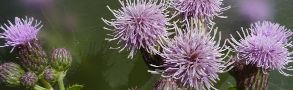 Malas hierbas: Cardo (Cirsium arvense)